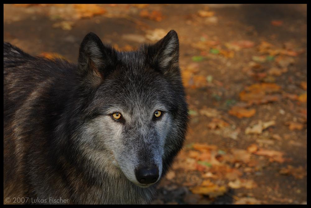 Der Schwarze Wolf Foto Bild Tiere Zoo Wildpark Falknerei