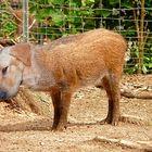 der schweinehund