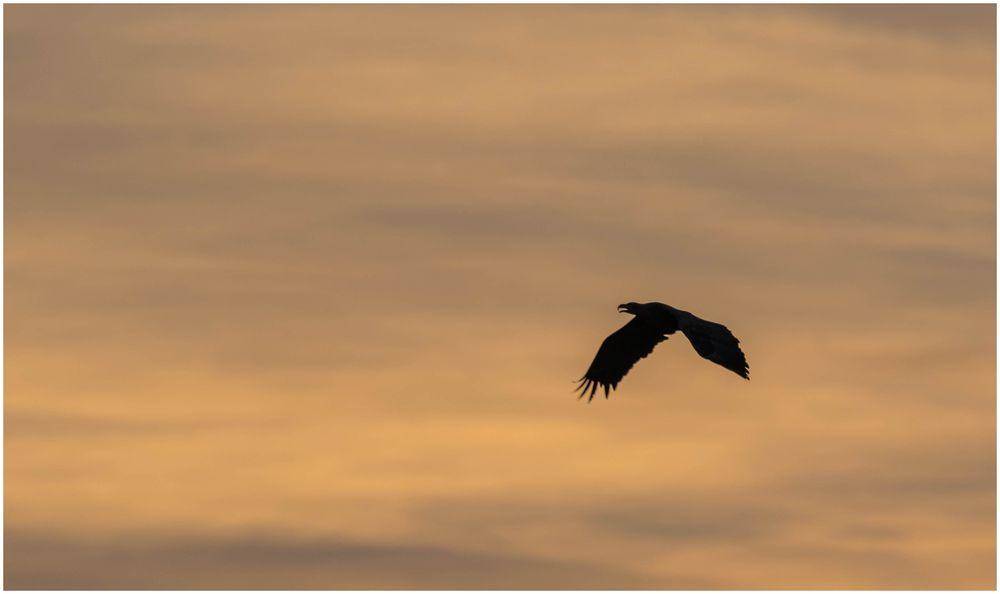 der Seeadler auf Suche nach Beute