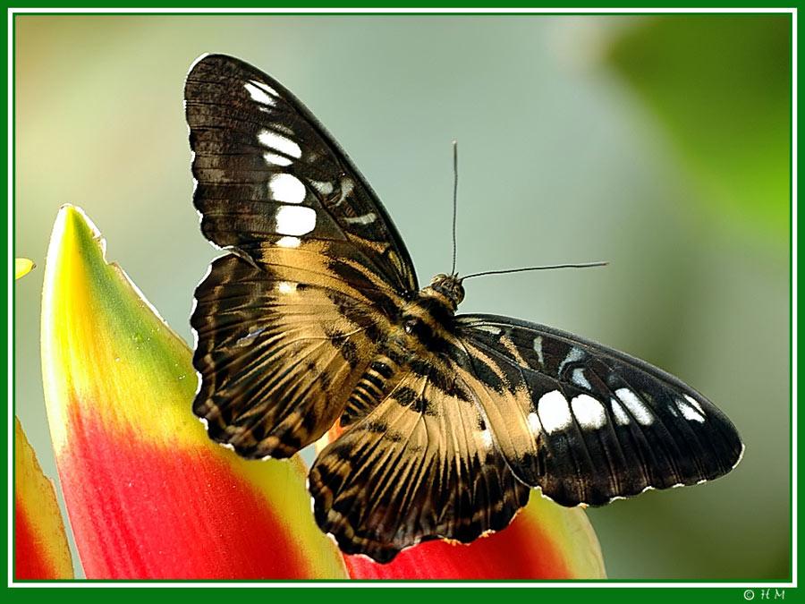Der Segler_Parthenos sylvia philippensis