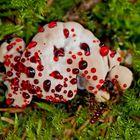 Der sehr seltene Blutende Korkstacheling (Hydnellum peckii)! - Hydnelle de Peck.