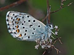 Der seltene Graublaue Bläuling (Pseudophilotes baton) - Azuré de la sarriette.