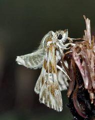 Der seltene Loreley-Dickkopffalter (Carcharodus lavatherae) - L'Hespérie de l'Epiaire.