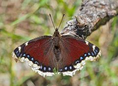 Der seltene Trauermantel (Nymphalis antiopa) - Le morio, une beauté fascinante!