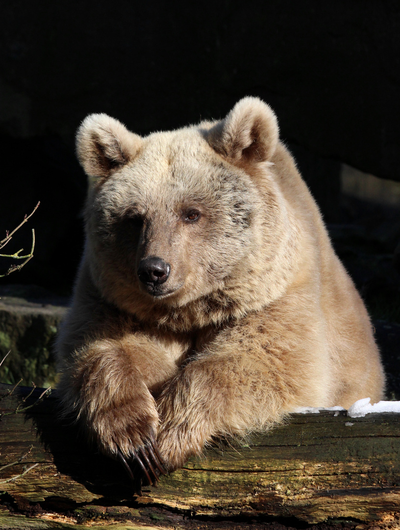 Der sibirische Braunbär