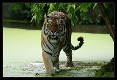 Der Sibirische Tiger ...