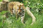 Der Sibirische Tigerkater