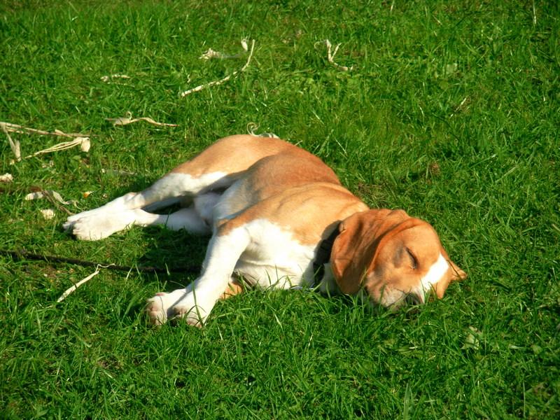 Der Spitty- Beagle...