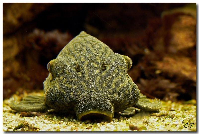 "Der ""Star"" in unserem Aquarium ..."