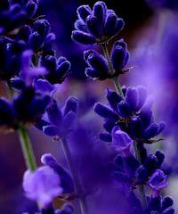 Der starke Duft des Lavendels