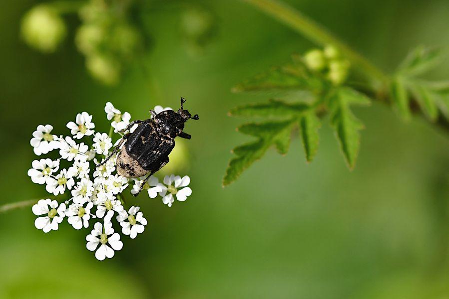 Der Stolperkäfer (Valgus hemipterus) ...