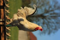 Der Stolz vom Hühnerhof