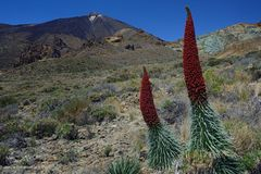 Der stolze Natternkopf des Teide