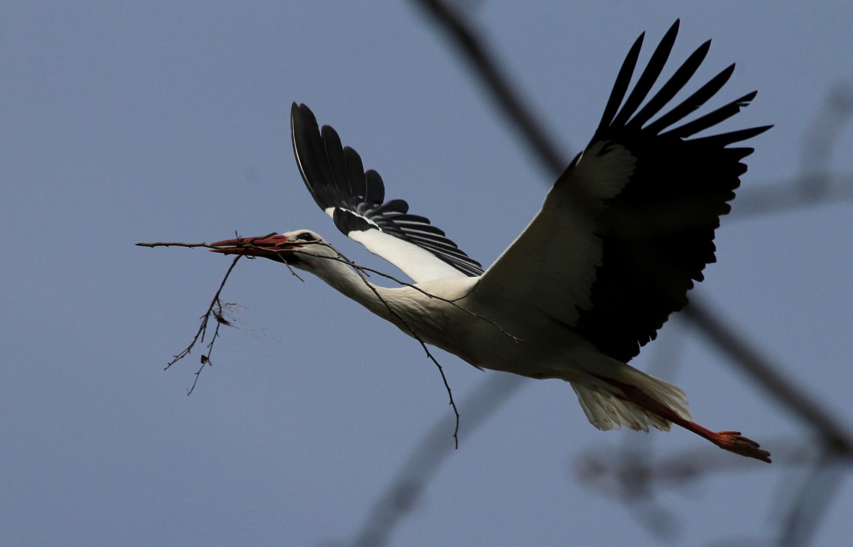 Der Storch bessert sein Nest aus