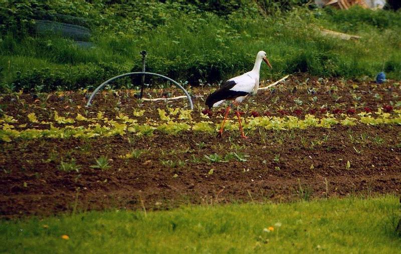 Der Storch im Salat