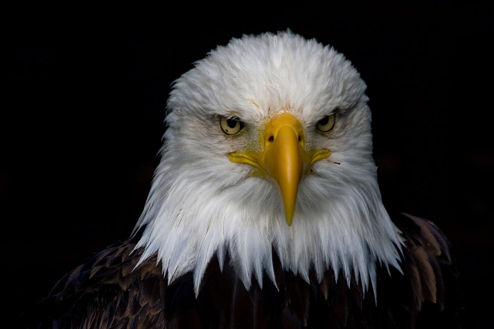 der strenge Blick des Weisskopfseeadler