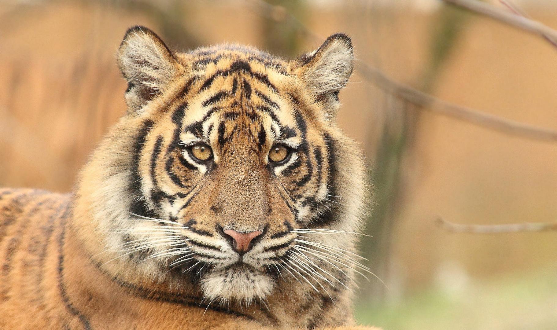 Der Sumatra-Tiger (Panthera tigris sumatrae)