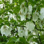 Der Taschentuchbaum