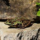 Der Teichfrosch in unserem Garten auf seiner Sonnenterrasse