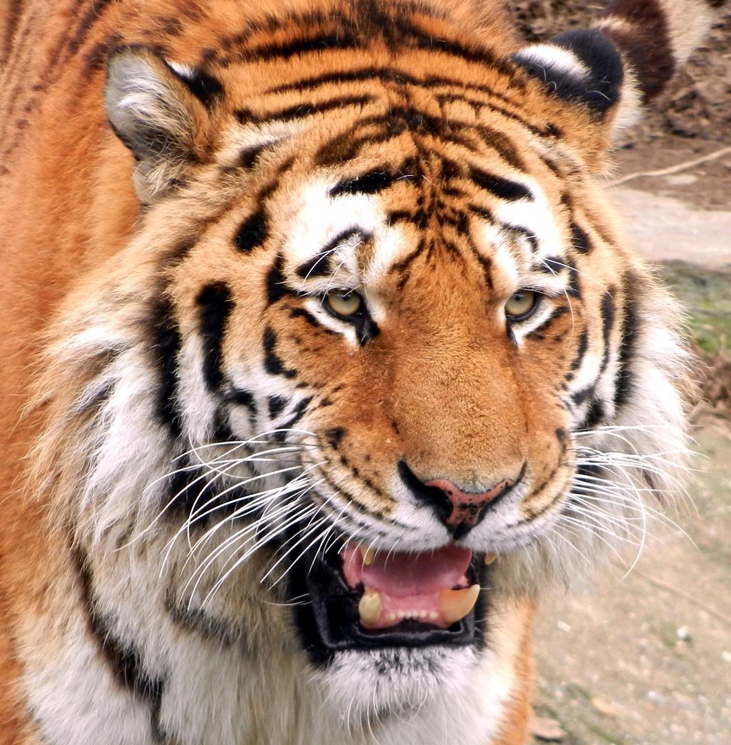 Kölner Zoo Tiger