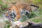 ... der Tiger hat aber Spass ...
