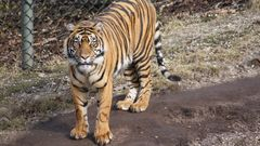 Der Tiger hat mich entdeckt...
