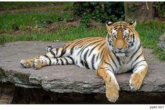 Der Tiger hetzt die Meute...