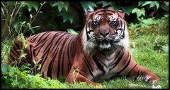 DER TIGER IN MIR ...