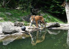 der Tiger-Narziss