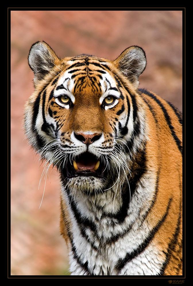 Der Tigerchef ...