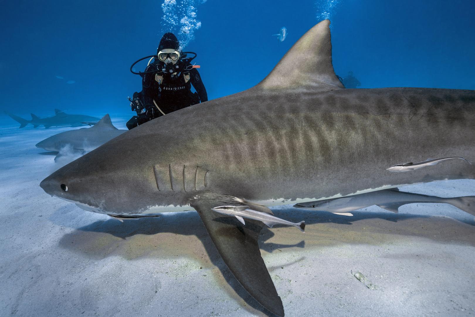 Der Tigerhai zwischen meiner Frau und mir...