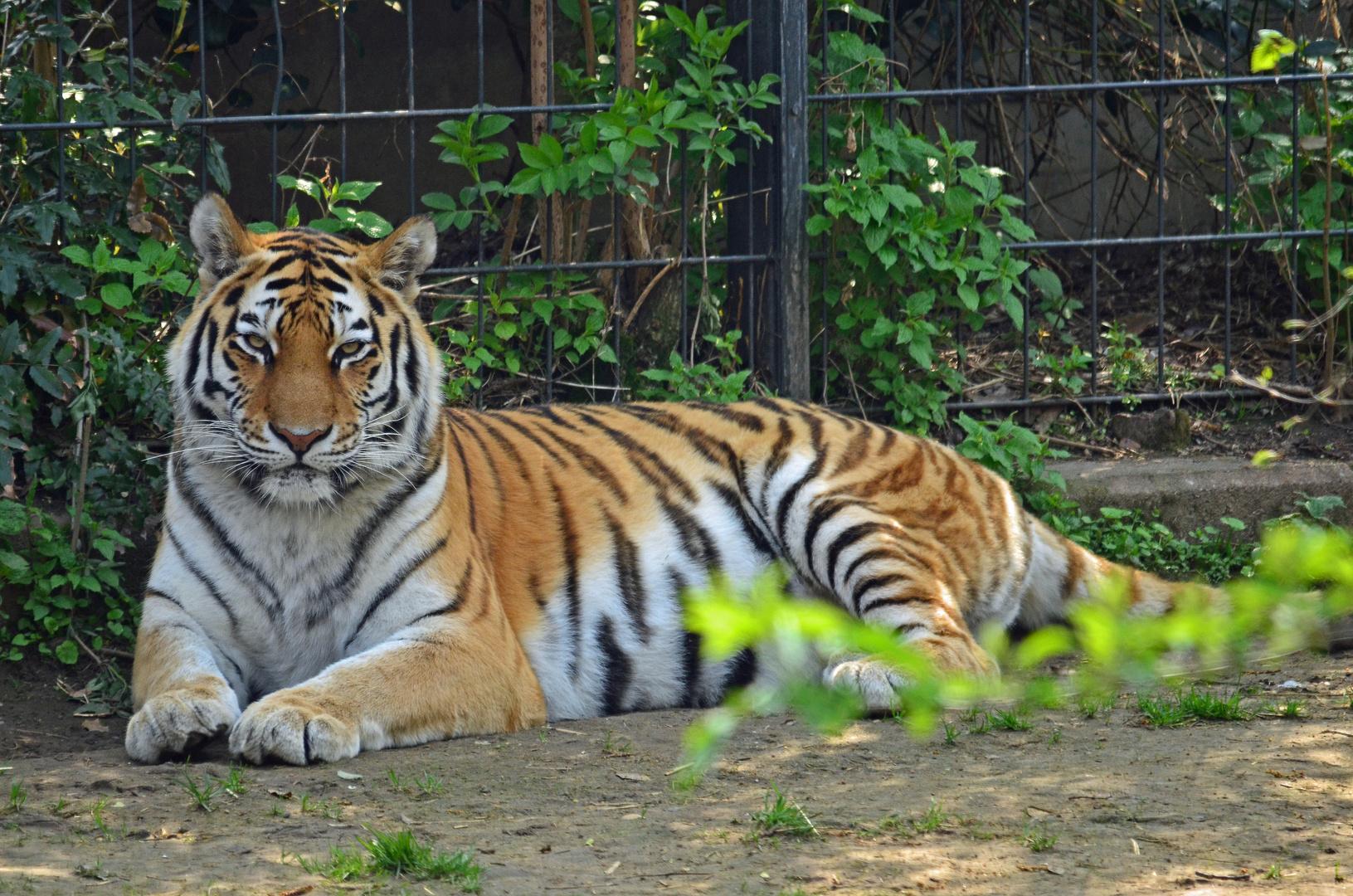 Der Tigerpapa