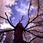 Der Traum des alten Baumes