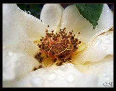 Der Tropfen der Rose
