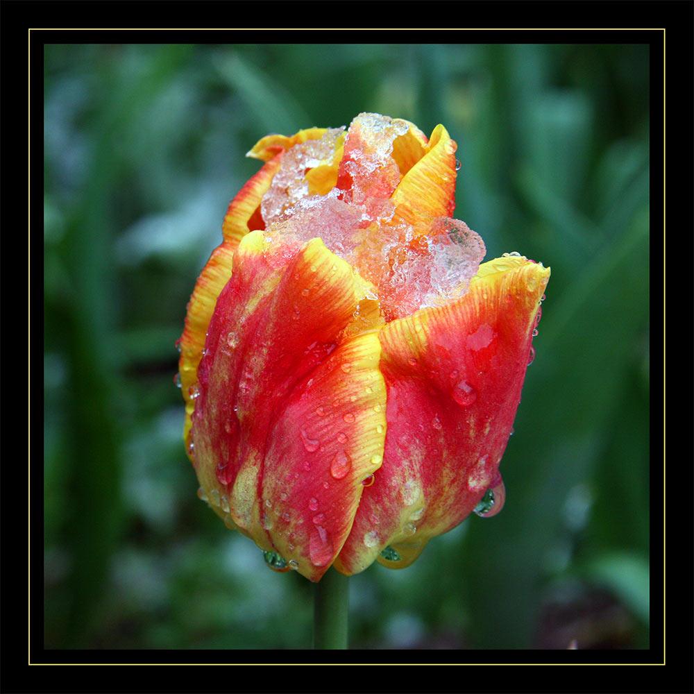Der Tulpe Frost - des Gärtners Frust      :o(