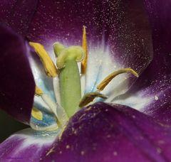 Der Tulpe innerstes Herzstück