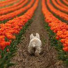 der Tulpenfreund