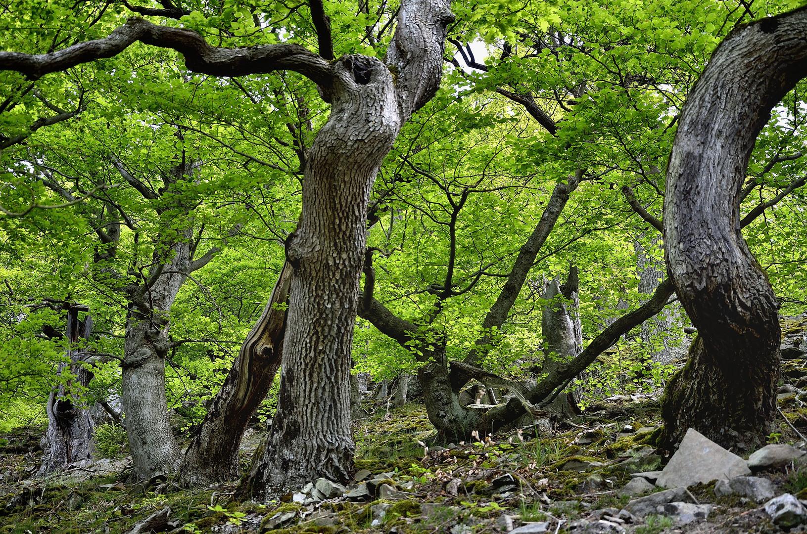 Der Urwaldsteig