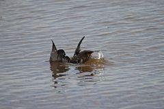 Der Vogel, der aus einem Wasser-Vogel schlüpft, ...