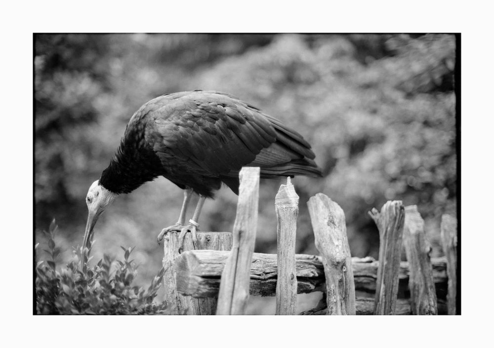 Der Wächter des Greifvogelhauses