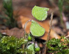 Der Wald-Sauerklee (Oxalis acetosella) erwacht zum Leben. - La petite oseille se réveille.