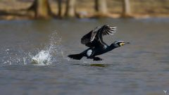 Der Wasserläufer :) ... Kormoran (Phalacrocorax carbo)