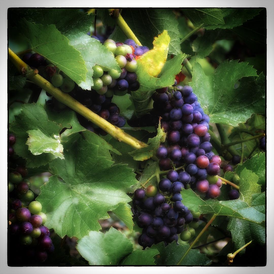 Der Wein für dieses Jahr ist gesichert...
