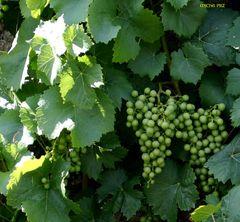 der Wein trägt viele Trauben dieses Jahr