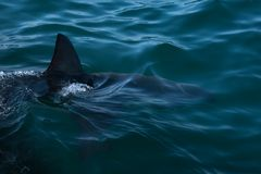 Der weisse Hai und seine Vermittlerin...