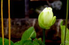 Der weiße Lotus steht für Bodhi, den Zustand totaler menatler Reinheit und spiritueller Perfektion.