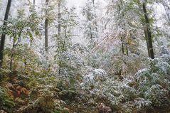 Der weiße Rotbuchenwald