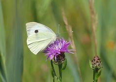 Der weisse Schmetterling