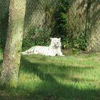 Der weiße Tiger im Safaripark Stukenbrock