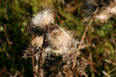 Der Wind trägt die Samen